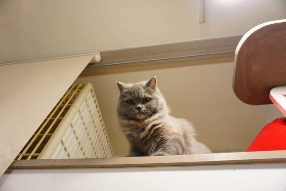 ペットホテル 猫専用ホテル ヌーノクラブ ブリティッシュロングヘアのブリ子ちゃん