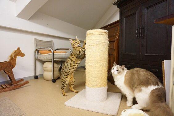 ペットホテル 猫専用ホテル ヌーノクラブ ベンガルのmugiちゃん、ラグドールのフーニャン
