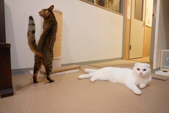 ペットホテル 猫専用ホテル ヌーノクラブ ベンガルのmugiちゃん、スコティッシュのプルル