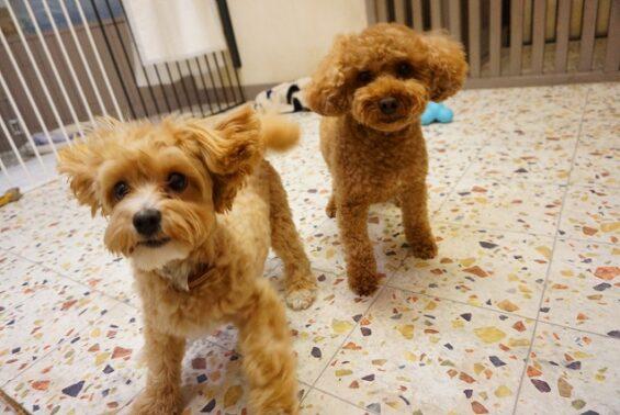 ペットホテル 犬のホテル ヌーノクラブ トイプードルのエディちゃん、トイプードル×マルチーズのエミリー
