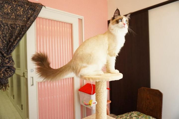猫専用ペットホテルのヌーノクラブ高円寺店 ケージフリーで猫ちゃんたちがリラックスしている様子