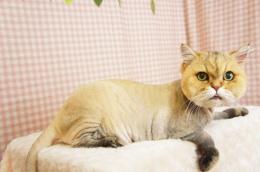 猫のシャンプー&カット トリミングの写真